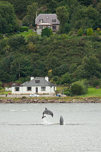 Bottlenose dolphin (Tursiops truncatus) breaching in Kessock Narrows, viewed from Inverness Marina, Inverness-shire, Moray Firth, Scotland, UK, August 2011, sequence 3/3  -  John MacPherson / 2020VISION
