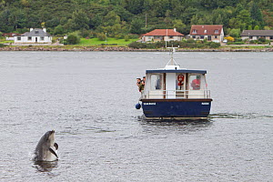 Bottlenose dolphin (Tursiops truncatus) breaching in front of dolphin-watching tourist boat in Kessock Narrows, viewed from Inverness Marina, Inverness-shire, Moray Firth, Scotland, UK, August 2011, s...  -  John MacPherson / 2020VISION