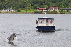 Bottlenose dolphin (Tursiops truncatus) breaching in front of dolphin watching tourist boat in Kessock Narrows, viewed from Inverness Marina, Inverness-shire, Moray Firth, Scotland, UK, August 2011, s...  -  John MacPherson / 2020VISION