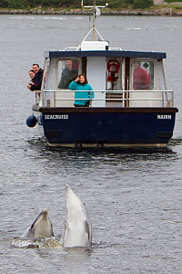 Bottlenose dolphin (Tursiops truncatus) breaching in front of dolphin-watching tourist boat in Kessock Narrows, viewed from Inverness Marina, Inverness-shire, Moray Firth, Scotland, UK, August 2011  -  John MacPherson / 2020VISION