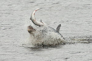 Bottlenose dolphin (Tursiops truncatus) violently throwing large salmon into the air, Kessock Narrows, Moray Firth, Inverness-shire, Scotland, UK, September 2011, sequence 1/6  -  John MacPherson / 2020VISION