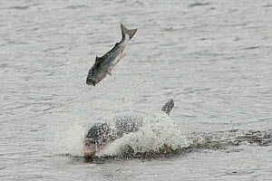 Bottlenose dolphin (Tursiops truncatus) violently throwing large salmon into the air, Kessock Narrows, Moray Firth, Inverness-shire, Scotland, UK, September 2011, sequence 2/6  -  John MacPherson / 2020VISION
