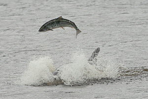 Bottlenose dolphin (Tursiops truncatus) violently throwing large salmon into the air, Kessock Narrows, Moray Firth, Inverness-shire, Scotland, UK, September 2011, sequence 3/6  -  John MacPherson / 2020VISION