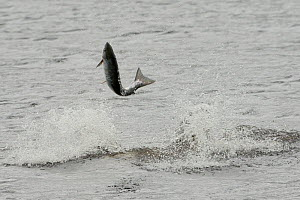 Bottlenose dolphin (Tursiops truncatus) violently throwing large salmon into the air, Kessock Narrows, Moray Firth, Inverness-shire, Scotland, UK, September 2011, sequence 4/6  -  John MacPherson / 2020VISION