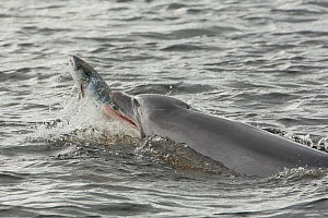 Bottlenose dolphin (Tursiops truncatus) throwing large salmon into the air, Kessock Narrows, Moray Firth, Inverness-shire, Scotland, UK, September 2011, sequence 6/6. Did you know? Like some other pre...  -  John MacPherson / 2020VISION