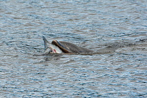 Bottlenose dolphin (Tursiops truncatus) feeding on large salmon, Moray Firth, Inverness-shire, Scotland, UK, September 2011  -  John MacPherson / 2020VISION
