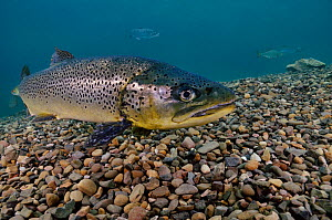 Brown Trout (Salmo trutta) in disused quarry, Jackdaw Quarry, Capernwray, Carnforth, Lancashire, UK, August - Linda Pitkin / 2020VISION