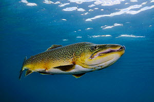 Brown Trout (Salmo trutta) in disused quarry, Jackdaw Quarry, Capernwray, Carnforth, Lancashire, UK, August. Photographer quote: 'Mature male brown trout have large jaws and, like salmon, sometimes de...  -  Linda Pitkin / 2020VISION