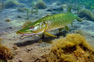 Pike (Esox lucius) in disused quarry, Stoney Stanton, Stoney Cove, Leicestershire, UK, June - Linda Pitkin / 2020VISION