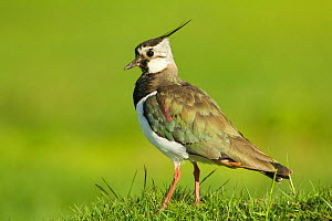 Lapwing (Vanellus vanellus) adult in breeding plumage, Scotland, UK, June. Did you know? Lapwings are able to run just moments after hatching.  -  Mark Hamblin / 2020VISION