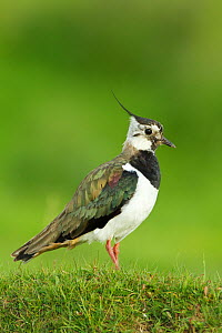 Lapwing (Vanellus vanellus) adult in breeding plumage, Scotland, UK, June  -  Mark Hamblin / 2020VISION