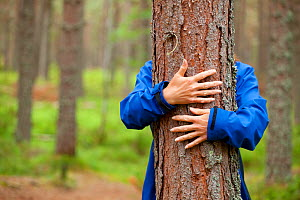 Close up of hands of woman 'hugging' Scots pine tree (Pinus sylvestris), Abernethy Forest, Cairngorms National Park, Scotland, UK, August 2010, Model released. 2020VISION Book Plate. Did you know? The...  -  Mark Hamblin / 2020VISION