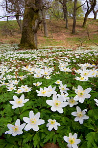Wood anemones (Anemone nemorosa) growing in profusion on woodland floor, Scotland, UK, May 2010 - Mark Hamblin / 2020VISION