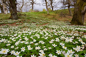 Wood anemones (Anemone nemorosa) growing in profusion on woodland floor, Scotland, UK, May 2010. Photographer quote: 'Driving home for the dentist I saw the most amazing display of wood anemones. It w... - Mark Hamblin / 2020VISION