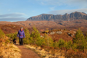 Man walking with dog along footpath through young Scots pine trees, Little Assynt Estate, near Lochinver, Assynt, Sutherland, NW Scotland, UK, January 2011, Model released  -  Mark Hamblin / 2020VISION
