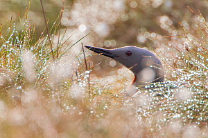 Red-throated diver (Gavia stellata) adult on nest amongst cotton grass, Flow Country, Highland, Scotland, UK, June. Animal Portraits category of the British Wildlife Photography Awards (BWPA) competit...  -  Mark  Hamblin / 2020VISION