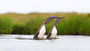 Red-throated diver (Gavia stellata) adult pair displaying on breeding loch, Flow Country, Highland, Scotland, UK, June. Did you know? The Flow Country of Caithness and Sutherland is home to the larges...  -  Mark Hamblin / 2020VISION