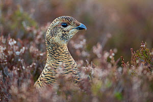Black grouse (Tetrao tetrix) female at lek amongst heather, Creag Megaidh NNR, Highlands, Scotland, UK, April - Mark Hamblin / 2020VISION