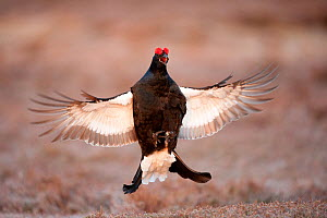 Black grouse (Tetrao tetrix) males displaying flutter jump at lek, Cairngorms NP, Grampian, Scotland, UK, April. Did you know? Adult grouse are mostly vegetarian, but their young primarily eat insects... - Mark Hamblin / 2020VISION