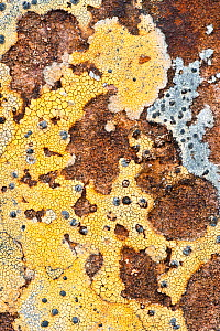 Lichen covered rock, Coigach and Assynt, Sutherland, Scotland, UK, June  -  Niall Benvie / 2020VISION