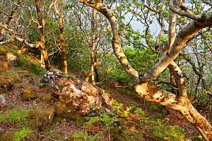 Atlantic oak wood (Quercus petraea) with glacial rocks, Achduart, Coigach and Assynt, Sutherland, Scotland, UK, June 2011  -  Niall Benvie / 2020VISION