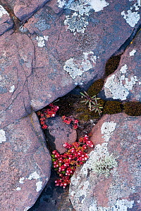 Close up of lichen covered rock and Stonecrop (Sedum anglicum) growing in crack, Coigach and Assynt, Sutherland, Scotland, UK, June  -  Niall Benvie / 2020VISION