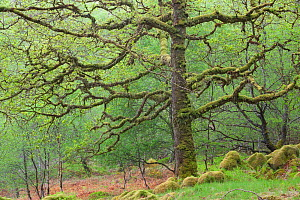 Sessile Oak tree (Quercus petraea) in spring, Sunart Oakwoods, Ardnamurchan, Highland, Scotland, UK, May. 2020VISION Book Plate.  -  Peter Cairns / 2020VISION