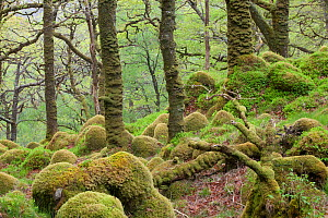 Oak woodland in spring with moss covered glacial rocks, Sunart Oakwoods, Ardnamurchan, Highland, Scotland, UK, May  -  Peter Cairns / 2020VISION