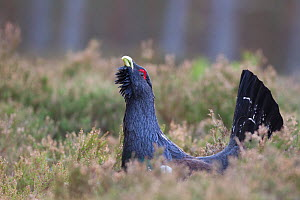 Capercaillie (Tetrao urogallus) male displaying, Inshriach, Cairngorms NP, Scotland, UK, February - Peter Cairns / 2020VISION