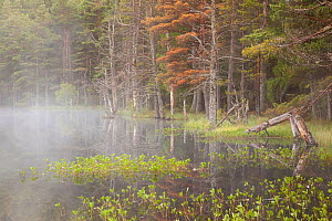 Mist at dawn over Uath Lochan with caledonian pine woods on the shore, Cairngorms NP, Highland, Scotland, UK, June 2011. Did you know? These northern pine forests are home to species found nowhere els... - Peter Cairns / 2020VISION