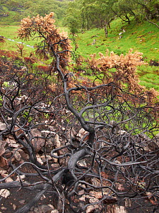 Gorse tree scorched by fire, near Lochinver, Coigach / Assynt SWT, Sutherland, Highlands, Scotland, UK, June 2011  -  Joe Cornish / 2020VISION
