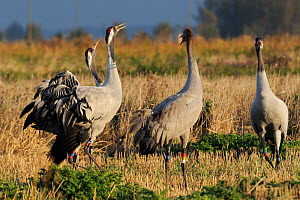 Common / Eurasian cranes (Grus grus) three 18 month juveniles, 'Bart', 'Christine' and 'Michael', released by the Great Crane Project onto the Somerset Levels and Moors, calling in Barley stubble fiel...  -  Nick Upton / 2020VISION