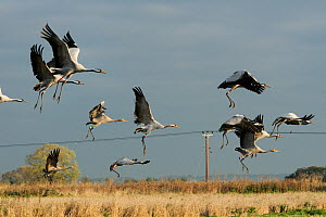 Mixed age flock of 18 month and six month Common / Eurasian cranes (Grus grus), released by the Great Crane Project onto the Somerset Levels and Moors, taking off from Barley stubble field, with elect...  -  Nick Upton / 2020VISION