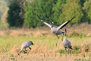 'Squidgy' an 18 month female Common / Eurasian crane (Grus grus), dancing in Barley stubble as male crane ^Mennis^ looks on and ^Twinkle^ forages in the background, within the flock of birds released...  -  Nick Upton / 2020VISION