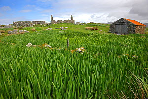 Yellow flag iris (Iris pseudacorus) bed growing on ruined croft, South Uist, Outer Hebrides, Scotland, UK, May 2011  -  Alan Williams