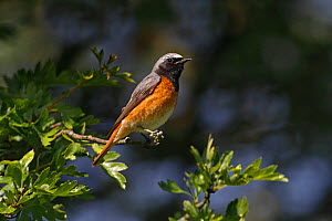 Male Common redstart (Phoenicurus phoenicurus) perched in woodland, North Wales, UK, June - Alan Williams