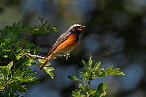 Male Common redstart (Phoenicurus phoenicurus) singing in woodland, North Wales, UK, June - Alan Williams