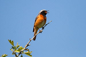 Male Common redstart (Phoenicurus phoenicurus) singing at top of tree, North Wales, UK, June - Alan Williams