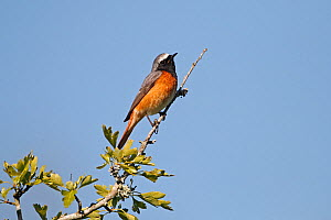 Male Common redstart (Phoenicurus phoenicurus) perched at top of tree, North Wales, UK, June - Alan Williams
