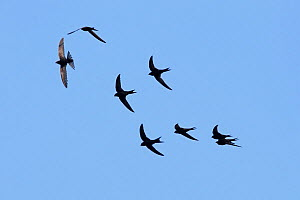 Common swifts (Apus apus) in flight, Merseyside, Wirral, UK, July - Alan Williams