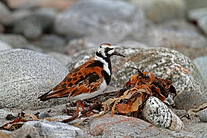 Turnstone (Arenaria interpres) foraging on stony beach in breeding plumage, North Uist, Outer Hebrides, Scotland, UK, May  -  Alan Williams