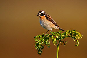 Male Whinchat (Saxicola rubetra) perched on Bracken on moorland, North Wales, UK, June  -  Alan Williams