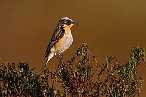 Male Whinchat (Saxicola rubetra) perched on Heather on moorland, North Wales, UK, June  -  Alan Williams