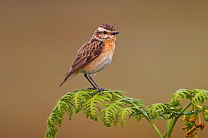 Female Whinchat (Saxicola rubetra) perched on Bracken on moorland, North Wales, UK, June  -  Alan Williams