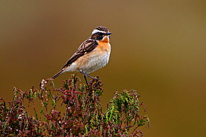 Male Whinchat (Saxicola rubetra) perched on Heather, North Wales, UK, June  -  Alan Williams