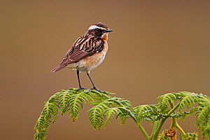 Male Whinchat (Saxicola rubetra) perched on Bracken, North Wales, UK, June  -  Alan Williams