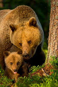 European Brown Bear (Ursus arctos arctos) mother and young cub. Finland, Europe, June.  -  Andy Rouse