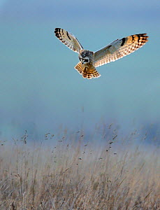 Short Eared Owl (Asio flammeus) hunting above grassland. UK, Europe, December.  -  Andy Rouse