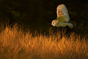Barn Owl (Tyto alba) in flight over grass. Wiltshire, UK (non-ex). - Andy Rouse