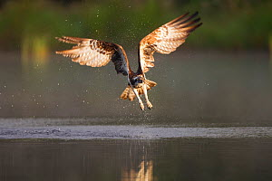 Osprey (Pandion haliaeetus) fishing at dawn, Cairngorms NP, Highland, Scotland, UK, July. 2020VISION Book Plate. - Peter Cairns / 2020VISION